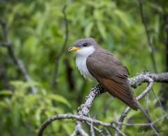 Yellow-billed Cuckoo (Ruthie Kansas) Tags: birding kansas topeka cuckoo yellowbilledcuckoo perrylake