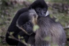 l'un contre l'autre (giloudim) Tags: amour animaux parc flou singe exterieur profondeurdechamp tamrom canon7dmarkii beersebergen