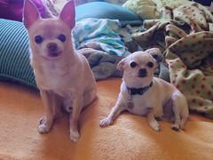 floyd and simon, chillin' (EllenJo) Tags: orange dog pet pets chihuahua cute dogs pentax floyd digitalimage 2016 june14 ellenjo ellenjoroberts bornin2003 bornin2013 twinsborn10yearsapart pentaxqs1
