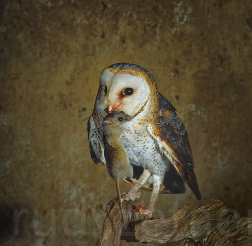 Western Barn Owl, with Rodent prey, on perch near nest , ready to feed chicks in the nest, inside a Farm Barn,