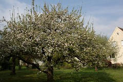 Spring time (dididumm) Tags: plant tree green apple garden spring blossom pflanze grn blte garten baum apfel fruittree apfelbaum frhling blooming obstbaum blhen burgfrieden