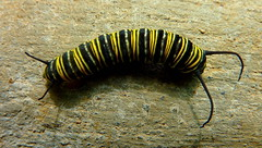 Stripe Costume for Caterpillar (Brice Retailleau / Quintessence de Voisinage) Tags: travel costa macro texture nature animal animals fauna composition bug insect costarica colours angle outdoor earth stripes wildlife details scenic rica caterpillar colourful extrieur insecte centralamerica animaladdiction fantasticwildlife