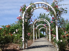 Pathway of Roses to the Tree (Good Book Reader) Tags: pink roses white tree nature outside path arches sidewalk bushes