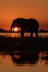 Elephant at sunset, Chobe river (Geoff Cooke: www.geoffs-trains.com) Tags: sunset elephant botswana choberiver