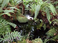 Forest reflections (dracophylla) Tags: newzealand codfishisland whenauhoa