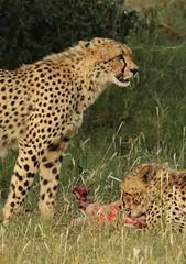 Cheetah, Acinonyx jubatus, at Pilanesberg National Park, Northwest Province, South Africa. (Derek Keats) Tags: park cats nature feline cheetah predator acinonyxjubatus felidae taxonomy:family=felidae taxonomy:binomial=acinonyxjubatus