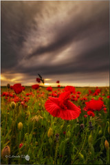 Poppy (Caramad) Tags: sunset flower color landscape rojo flor poppy puestadesol burgos trigo castillalen amapolas gumieldeizan