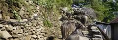 _DSC1783 (MidWorldMo) Tags: park street city travel nepal sunset dog white mountain storm black mountains flower macro art floral bike architecture cat sunrise trekking walking landscape temple monkey buddhist explore national backpacking pollution monsoon cycle mtb kathmandu hindu pokhara himalayas chitwan