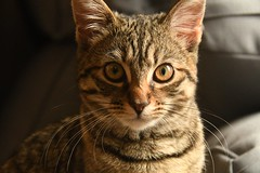 Winnie (chrisbailey993) Tags: cuddly fluffy stripes stripe playful mischievous focus crazy fur hiding crouch stealth serious nose eyes ears handheld 18300 adorable animal pet whiskers pussy cute kitten cat