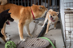 Yotsuba365 Day49 (Tetsuo41) Tags: dog shibainu yotsuba