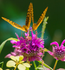 Crowded Bee Balm (Catskills Photography) Tags: odc wontwork butterflies insects animals flowers nature wildlife bokeh canon70300mmllens