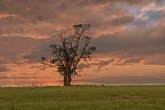 LONE TREE (mark_rutley) Tags: tree lonetree sunset sky thelonelytree singletree fareham hampshire
