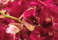Prepared (Khaled M. K. HEGAZY) Tags: pink red white plant orchid flower macro green nature closeup nikon purple indoor petal coolpix bud makkah ksa kingdomofsaudiarabia p520 rafflesmakkahpalace