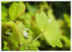 Golden Oxalis (Free 2 Be) Tags: green plant garden droplets clover oxalis damp water wet