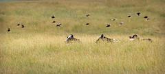 5 to 1 Odds (Doris Burfind) Tags: farm field animals birds cows flight grass