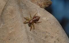 Cytaea alburna (dustaway) Tags: arthropoda arachnida araneae araneomorphae australianspiders tullerapark northernrivers nsw australia nature salticidae cytaeaalburna