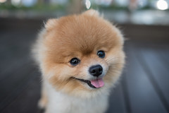 Pomeranian (xhowardlee) Tags: nature outdoors cute portrait pets canine green countryside alert pom german orange dog breed bred brown adorable beautiful ginger field pedigree pure small grass breeds canines pomeranian looking red pretty pet foxy meadow spitz laying furry fur resting dogs