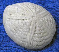 Eupatagus mooreanus fossil heart urchin (Eocene; Florida, USA) 1 (James St. John) Tags: fossil heart florida urchin urchins fossils eocene echinoderm irregular echinoidea eupatagus mooreanus