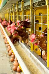 af1504_6730 (Adriana Fchter) Tags: food bird chicken animals galinha farm aves ave perspectiva corredor granja ovos galinhas avicola produo avicultura automao poedeiras granjaavicola