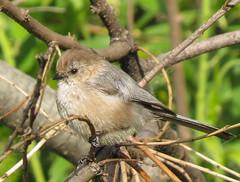 Bushtit Madrona Marsh       0631 (pekabo90401) Tags: birdwatching bushtit madronamarsh southerncaliforniabirds birdwatchinglosangeles pekabo90401 birdsofmadronamarsh