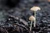 Two Tiny Mushrooms (Cobra_11) Tags: flower macro window nature mushroom closeup canon spring makro windowsill canoneos ef50mmf18ii windowbox flowerbox ef50mm118ii windowboxplanter windowflowerbox canoneos450d digitalrebelxsi