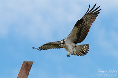 Male Osprey landing sequence - 3 of 13