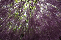 Tree of Fuji #2 (photowalker_east_jp) Tags: plant flower tree japan garden for fuji purple dream cnn wisteria 2014 destinations floribunda ashikaga