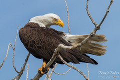 Bald Eagle preens itself