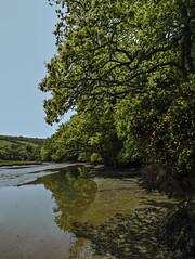 Bankside Oak (jonsomersphotos) Tags: tree river oak cornwall stjohns stjohnslake
