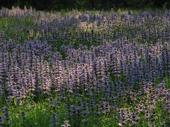 Morning Ajuga (Sea Moon) Tags: flowers light field yellow dawn purple lawn blooms goldenhour glancing