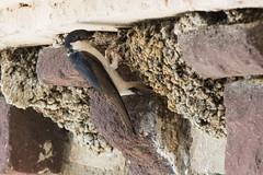 Mom at home for lunch (Giuli Musico) Tags: bird nature animal nikon swallow tamron nido rondine d610 2470