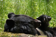 Berenklauwen. (limburgs_heksje) Tags: beer duitsland dierenpark berenklauw