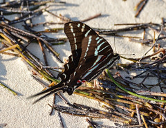 Butterfly (Ian Mackler Photography) Tags: beach mexico butterly illusive d3200 oceanmayaroyale mexico2015