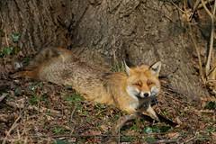Fuchs (CROW1973) Tags: wien canon eos österreich wildlife fuchs 7dii 7dmarkii tamronsp150600mmf563divcusd