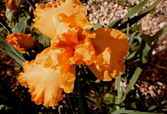 Flaming June (_minette) Tags: flower yard spring flamingjune peachiris