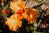 Flaming June (_minette) Tags: flower yard spring flamingjune peachiris