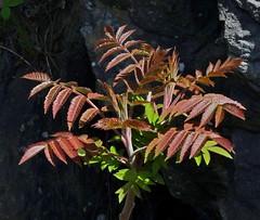 Beaut du printemps - Spring beauty (Jacques Trempe 2,230K hits - Merci-Thanks) Tags: leave spring quebec printemps feuille atefoy