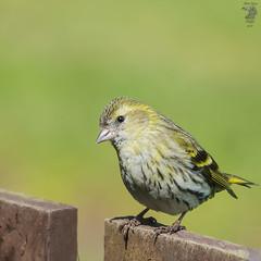 Female Siskin (markvc2) Tags: bird nature female wildlife sony sigma finch a77 siskin carduelisspinus 150500