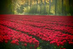 Een veld met rode tulpen bij zonsondergang (Gerrit Veldman) Tags: flevoland noordoostpolder bollenveld tulpen tulpenveld tulips rood red sunset zonsondergang olympus epl7 nederland netherlands