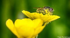 vlieg_op_boterbloem1 (Peter Bartelings AKA PeBee) Tags: flower macro nature netherlands amsterdam yellow natuur geel vlieg boterbloem butterflower stuifmeel