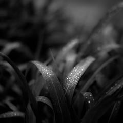 Mist Pooling on Leaves 004 (noahbw) Tags: light shadow blackandwhite bw abstract blur wet water monochrome leaves forest square landscape blackwhite droplets spring still woods nikon quiet dof natural depthoffield dreamy dreamlike waterdrops stillness chicagobotanicgarden d5000 noahbw