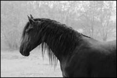 Lazar (feldweg) Tags: horse cheval pferd regen kon frisian friese hven guthven