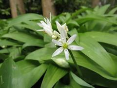 0619 Ransom - Wild Garlic - Allium ursinum (Andy in relax mode) Tags: flower www rrr aaa ggg fff ramsons wildgarlic alliumursinum 20160504