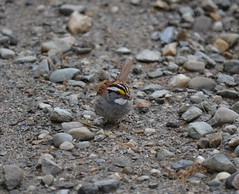 White-throated Sparrow (tapaculo99) Tags: birds vermont aves sparrow whitethroatedsparrow zonotrichiaalbicollis