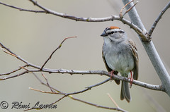 Bruant familier -  Chipping sparrow (RemLau) Tags: nikon sparrow tamron chipping familier bruant 150600 150600mm
