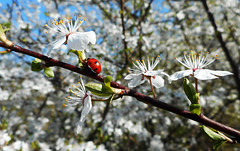 Ladybird and Blossom (02) (rimasjank) Tags: tree nature spring ngc ladybird lithuania