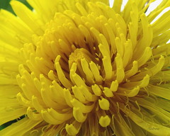 Roar (SteveFromOhio) Tags: new nature yellow bright fresh dandelion opening hopeful