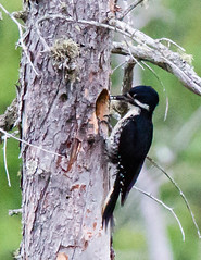 Black-backed Woodpecker-3 (Don T2013) Tags: birds newhampshire pondicherry bbwo