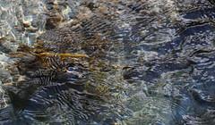 Jeux d'eau (in explore) (yoduc73) Tags: eau reflets torrent algues dor ruisseau