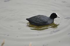 Old Moor (604) (rs1979) Tags: bird birds coot barnsley rotherham coots rspb wombwell oldmoor oldmoorwetlandcentre wathings wathingshide oldmoornaturereserve lowvalley